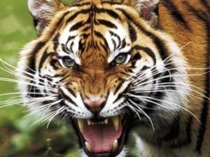 В Индонезии тигры