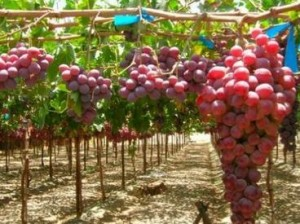 армянский виноград