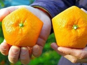 Японский фермер выращивает пятиугольные апельсины