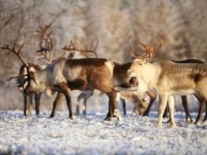 В Лапландии поезд убил 48 северных оленей