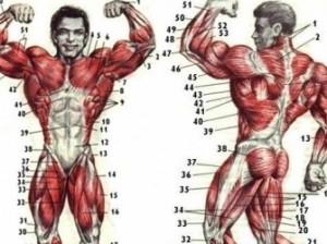 Чем больше мышц, тем дольше жизнь