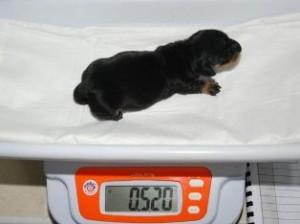 Такса стала первой клонированной собакой Британии