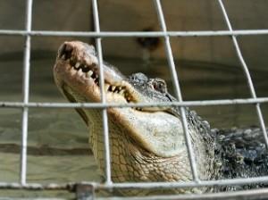 Крокодил Федя пострадал от 120 килограммового бухгалтера