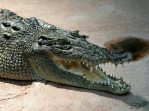 Толстый бухгалтер упадет на крокодила Федю на бис