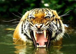 Тигры напали на трех молодых людей в одном из зоопарков Грузии