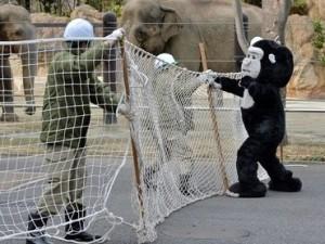 Ветеринар подстрелил переодетого в гориллу сотрудника зоопарка