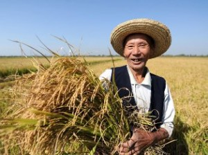 Летний урожай зерновых в Китае обновил рекорд