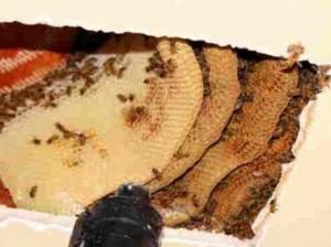 В потолке нью-йоркской квартиры обнаружено 50 тысяч пчел