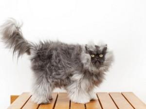 В Калифорнии живет кошка с самой длинной шерстью