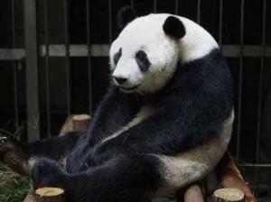 Панда прикинулась беременной ради вкусной еды и кондиционера