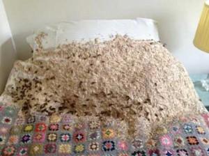 Пять тысяч ос превратили кровать в громадное гнездо