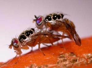 Ученые доверили уничтожение вредителей мухам-франкенштейнам