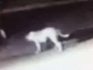Эксперты озадачены странным существом, разгуливающим ночью по городским улицам (видео)