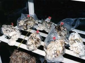 В грязных подгузниках будут выращивать грибы