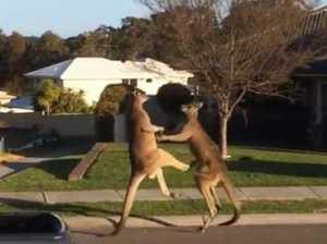 Горожане засняли драку кенгуру, начавшуюся посередине улицы