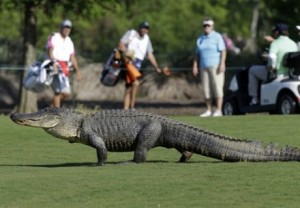 Крокодил съел гольфиста ЮАР