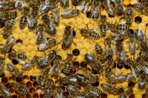 Пчелы могут исчезнуть с лица Земли