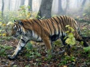 тигр Путина