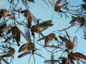 komaryi