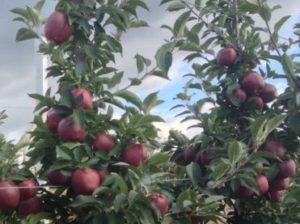 яблоки-вишни