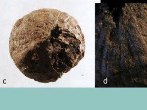луковице 1500 лет