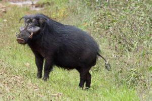 африканские свиньи