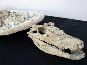 Barrosasuchus Neuquenianus