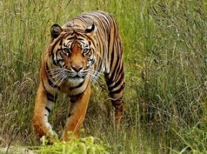 суматранский тигр