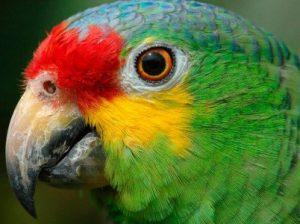 попуга