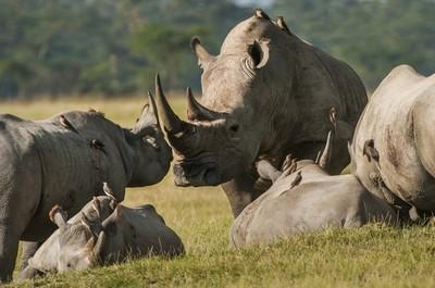 носорогы